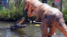 A Man Dressed In A T-Rex Costume Gets Dangerously Close To An Alligator- Taunting Him With A Fish