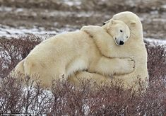 These polar bears, who are brother and sister, decide to share an adorably sweet cuddle t...