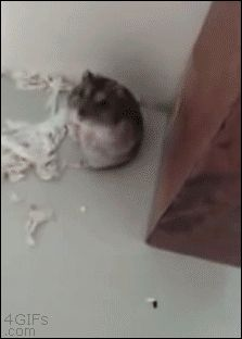 Hamster plays Oscar worthy death scene- head back, eyes closed, pulling back feet up & very slowly tipping over