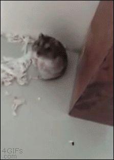 Hamster-shot-plays-dead