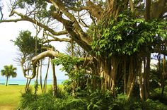 鹿児島県奄美大島、ガジュマルの大樹と蒼い海