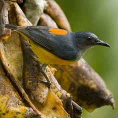 Orange-bellied Flowerpecker (male) - Dicaeum trigonostigma, Thailand. Male feeding on rotting bananas.