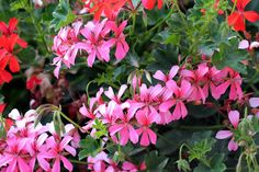 Pelargonium, Geranium: plant and cultivate - About Garden and Flowers Geranium Plant, Geranium Flower, Planting Shrubs, Garden Plants, Planting Flowers, Container Flowers, Container Plants, Gemüseanbau In Kübeln, Flower Beds
