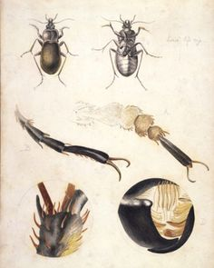 Beatrix Potter, 'Microscopic studies of a ground beetle' © Frederick Warne & Co. 2006 - Beauty in the Detail   V&A