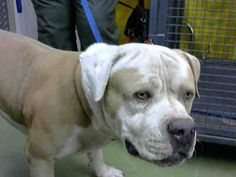 DEVORE,CA. EUTH LIST. 10/25/17. Hank ID# A682737. 5 yr. old male Pit Bull Terrier. No issues. Time & space. Arrived 09/27/17.