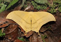 Moths of the Andes - Asthenia buckleyi  Druce's Hookwing