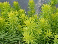 Sedum rupestre 'Angelina' - See more at: http://worldofsucculents.com/sedum-rupestre-angelina-angelina-stonecrop-golden-sedum/