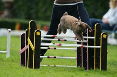 Rabbit show jumping. Sweden has a rabbit show-jumping competition called Kaninhoppning.