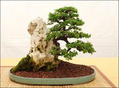 Consejos para elegir un bonsái - http://www.jardineriaon.com/consejos-para-elegir-un-bonsai.html