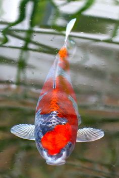 White butterfly koi wanted name will be obake for Japanese koi names
