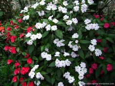 Red and White Sunpatiens