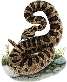 Full color illustration of an Eastern Massasauga Rattlesnake (Sistrurus catenatus catenatus)