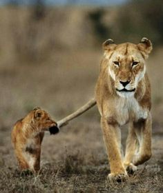 I got your tail. OR Mom making baby hold onto her tail, the same way we tell our kids to hold onto us.