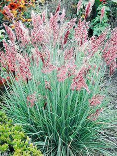 Ornamental Grass Seeds | 10 Varieties | Ornamental Grasses