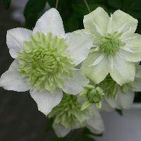 Clematis florida 'Alba Plena' 白万重