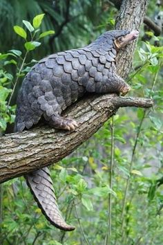 These animals grow up to a meter long, live in Asia, and including other Pangolin's are the only known mammals that grow protective keratin scales cover... - Jim McLaw - Google+