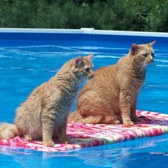 """""""Cats hate water only when it is dumped on them, as who wouldn't?  Given the opportunity they will fish diligently in the neighborhood fish ponds."""" --Eric Temple Bell       Or swim in the neighborhood pools?"""