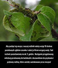 Aby pozbyć się mszyc z naszej roślinki należy wziąć 10 drobno posiekanych ząbków czosnku i zalać je litrem wrzącej wody. ...