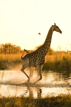 Africa | Giraffe running across a flooded area in The Okavango in Moremi Game Reserve, Botswana. What I like about this image is that it seems that the small oxpecker is chasing the big giraffe when in fact it was running away from me and my camera. | Caption and image © Mario Moreno
