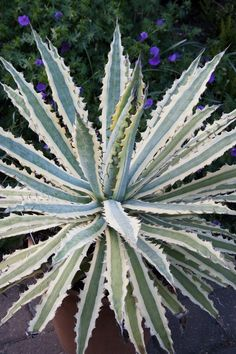 Agave xylonacantha 'Frostbite'