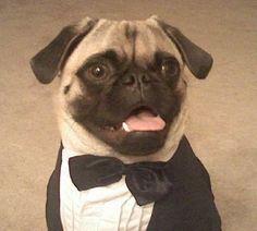 dapper ♥ Clean pug! Pug Love dog doggie puppy boy girl black fawn funny fat outfit costume