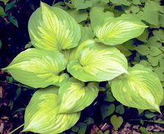 """HOSTA ROY KLEHM PP19,647 - Size: 18"""" tall, 36"""" wide. Plant zones: 3-9."""