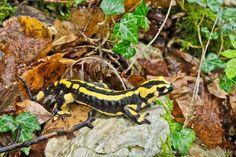 Salamandra salamandra - Salamandre tachetée