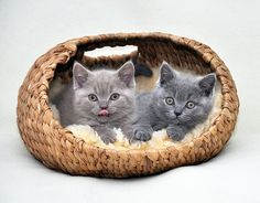 Kittens in a Basket. Animals And Pets, Baby Animals, Cute Animals, Funny Animals, British Shorthair Kittens, F2 Savannah Cat, Grey Cats, Cute Friends, Animal Wallpaper