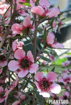 Leptospermum scoparium - Manuka (New Zealand Tea Tree) Acid Loving Plants, Native Gardens, Australian Garden, Flower Names, Flower Seeds, Native Plants, Tea Tree, Shrubs, Flower Power