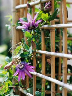 Passionflower. Beautiful climber that is a butterfly favorite. Full sun.