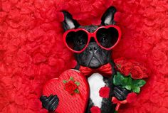 Holiday Valentine S Day Dog Petal Love Rose Romantic Heart Funny Sunglasses HD W. - Holiday Valentine S Day Dog Petal Love Rose Romantic Heart Funny Sunglasses HD Wallpaper Backgroun - Kinder Valentines, Valentines Day Dog, Valentines Gifts For Boyfriend, Funny Valentine, Valentine Nails, Valentine Ideas, Funny Sunglasses, Love Rose, Candy Gifts