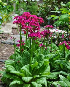 This is one of my faves for the shade garden - Candelabra Primrose, Primula japonica  - Three Dogs in a Garden
