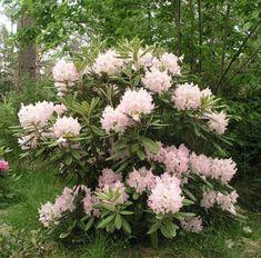rhododendron_mikkeli_2_turunsaaristo_kristiantheqvist.jpg