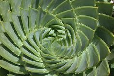 Aloe polyphylla - beautiful swirly pattern