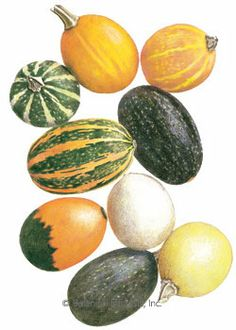 """Gourd Ornamental Goblin Eggs Seeds.  DO NOT plant ornamental """"Thanksgiving"""" gourds within 1,000 feet of cukes, zuccs, winter squash, pumpkins, etc. They cross-pollinate and make them very bitter! Large hardshell gourds and luffa's are OK, they don't cross."""