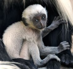 Unlike most primates, colobus monkeys lack thumbs and were named for this unusual adaptation.