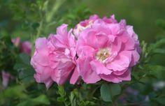 Rugosa rose 'Sachalin'