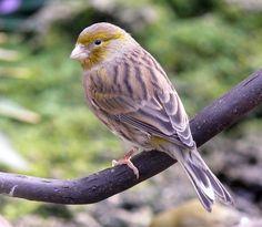 green timbrado canary