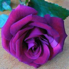 Captivating Why Rose Gardening Is So Addictive Ideas. Stupefying Why Rose Gardening Is So Addictive Ideas. Beautiful Rose Flowers, Wonderful Flowers, Love Rose, All Flowers, Exotic Flowers, Lavender Roses, Purple Flowers, Red Roses, Lavender Hair
