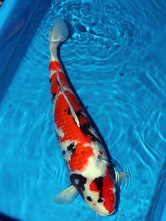 Koi Carp from Richdon Koi - Suppliers of high quality Japanese Koi Carp and products