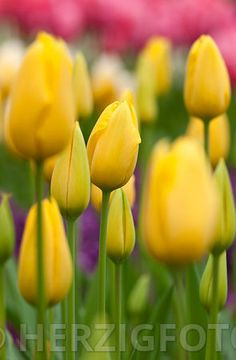 """Tulipa """"United states""""- Tulpe"""