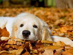 Cute Golden Retriever Puppy ♡