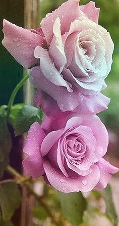 2b81e3a2f0e0 Pretty Roses, Beautiful Roses, Roses Only, Love Rose, Love Flowers, Rose