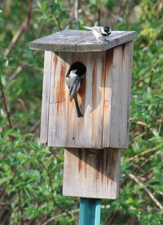 Chickadees are building a nest!