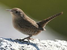 The Rock Wren (Salpinctes obsoletus) is a small songbird of the wren family. It is the only species in the genus Salpinctes.  Their breeding habitat is dry rocky locations, including canyons, from southwestern Canada south to Costa Rica. This bird builds a cup nest in a crevice or cavity, usually among rocks.