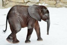 baby African elephant Iqwha