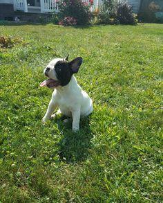 French Bulldog Puppy For Sale In Adrian Mi Adn 43027 On