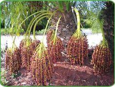 Palm Dating Tree
