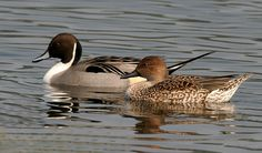 The Northern Pintail stops at Sauvie Island during its annual migration south.
