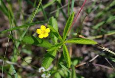 Kansas Wildflowers and Grasses - Old-field cinquefoil